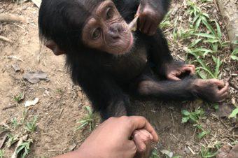 «L'île aux singes», une virée magique chez les chimpanzés | Cameroun
